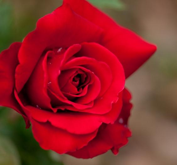 Rose,_Konrad_Henkel